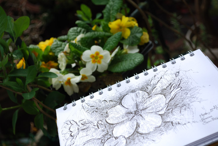 Drawing primroses in the garden