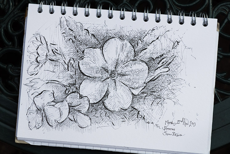 Drawing of primroses