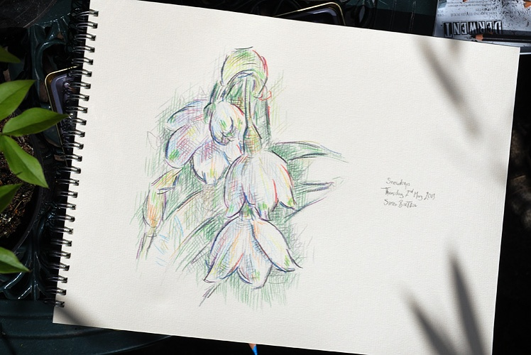 Drawing of snowdrops by Simon Birtall