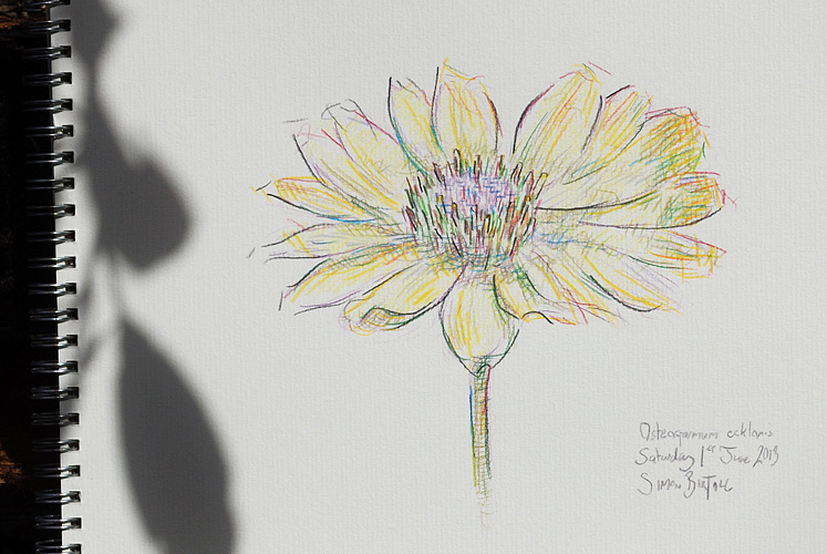 Drawing of Osteospermum ecklonis by Simon Birtall