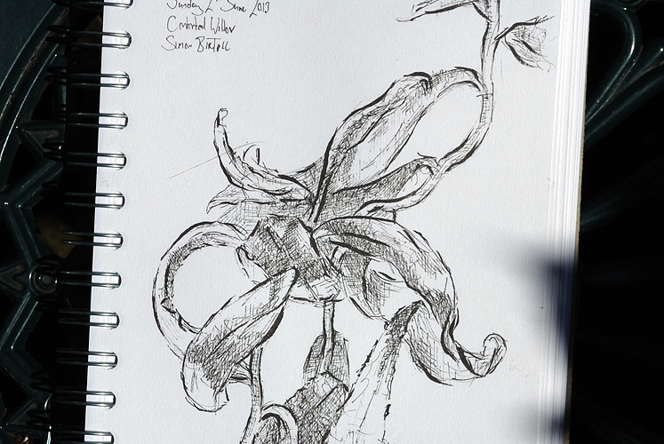 Drawing of a Contorted Willow by Simon Birtall