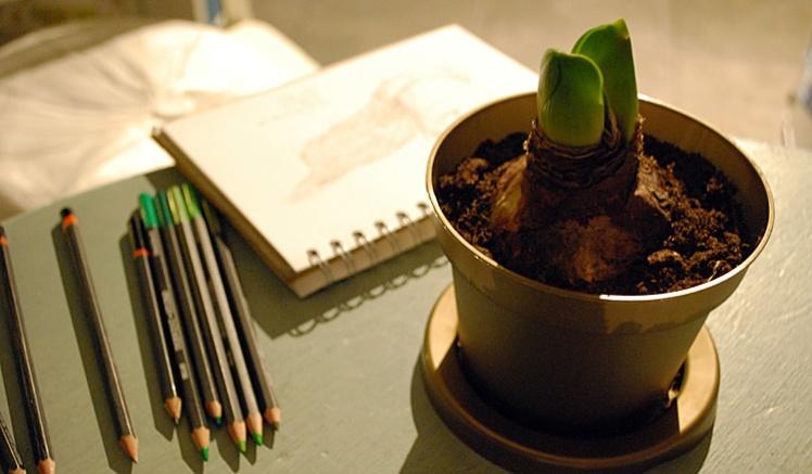 Drawing amaryllis shoots