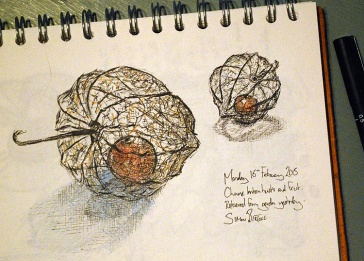 Chinese Lantern husk drawings